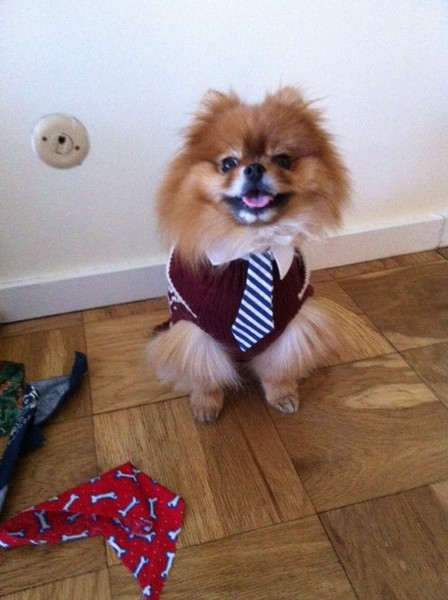 yogi the pomeranian in sweater and tie